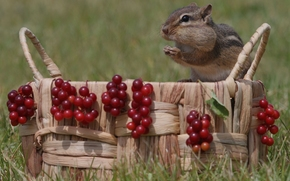 chipmunk, basket, BERRY