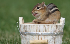 chipmunk, rodent, bucket