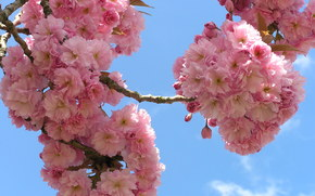 cherry, BRANCH, Flowers, sky, flora