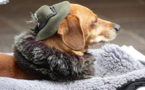 собака, шляпа, животное
