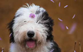 Bobtail, Old English Sheepdog, cane, Muso, fiorellino, Petali