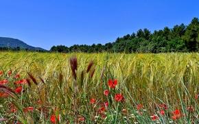 campo, spighe di grano, Papaveri, Macro, panorama