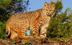 predador, gato selvagem, lince
