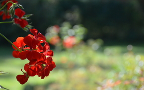 Flower, red, nature