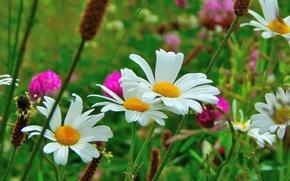 domaine, Fleurs, Camomille, Macro