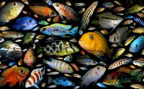 aquarium fish, family of cichlid fishes, Poster