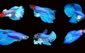 петушок рыбка, Бойцовая рыбка, аквариумная рыбка