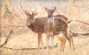 животные, рога, пятнистый олень