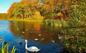 autunno, lago, alberi, Anatra, Cigni, paesaggio