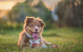 Australian Shepherd, Aussies, cane, cucciolo, lingua