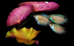 аквариумная, рыбка, лялиус