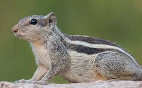 印度棕榈松鼠, 啮齿动物, 动物