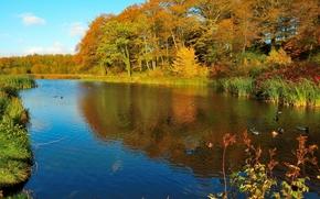 秋, 湖, 树, 鸭, 景观