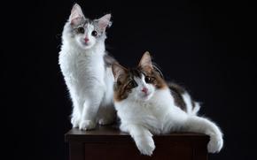 кошки, котейки, парочка, портрет, фон