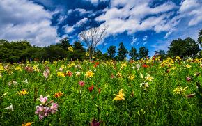 Tokorozawa, Saitama, Japan, Токородзава, Сайтама, Япония, цветы, лилии, засохшее дерево, деревья, небо