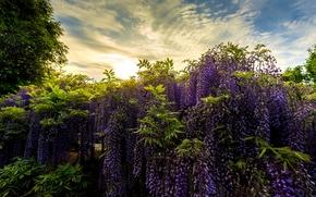 Ashikaga Flower Park, Japan, Парк цветов Асикага, Япония, парк, глициния, вистерия