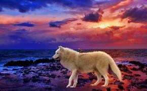 coucher du soleil, mer, loup, nature