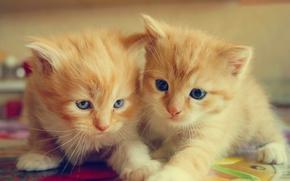 котята, рыжие, малыши, парочка, двойняшки