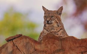 retrato, gato selvagem, lince