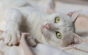 gatto bianco, gatto, museruola, occhi