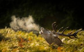 deer, head, Horns, breath, steam, autumn