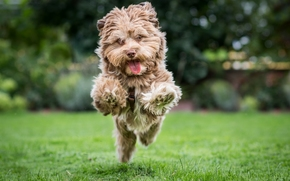 dog, running, joy, mood, lawn