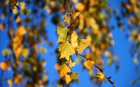 autumn, branch, birch, foliage, Macro