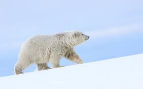 Alaska, orso polare, orso polare, sopportare, nevicata