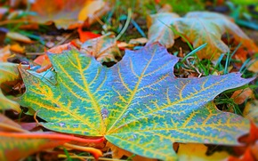 autumn, foliage, maple, Macro