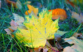 autumn, foliage, maple, Macro