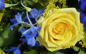 rosa, Fiori, flora