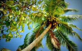 palm, crown, foliage, branch, nature