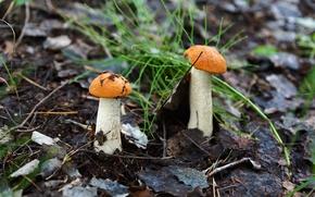 hongos, álamo temblón, naturaleza