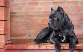 Cane Corso, dog, portrait