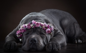 Cane Corso, dog, Snout, wreath, Flowers