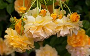 фотокартина, печать на холсте на заказ Украина ArtHolst жёлтые розы, розы, бутоны