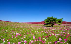 Hitachi Seaside Park, Hitachinaka, japan, Hitachi Seaside Park, Hitachinaka, Japan, kosmeya, Flowers, tree, meadow