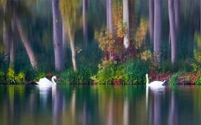 Cigni, uccelli, coppia, lago, autunno