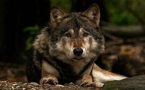 loup, prédateur, Museau, voir