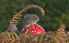 полёвка, мышь, мышка, грызун, гриб, мухомор