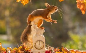 белка, рыжая, мышка, часы, листья, осень