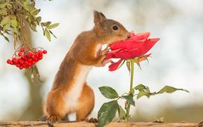 scoiattolo, Redhead, rosa, fiore, Rowan, BERRY