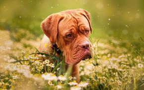 Dogo de Burdeos, Mastín francés, perro, Hocico, Flores, Manzanilla