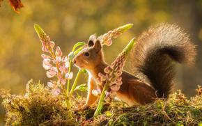 scoiattolo, Redhead, lupino, Fiori