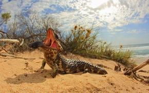Short-tailed skink, Short-tailed, lizard, jaws, language