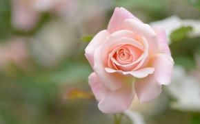 rose, BUD, Macro, bokeh