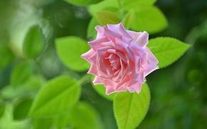 фотокартина, печать на холсте на заказ Украина ArtHolst роза, бутон, макро