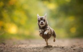 Chihuahua, cane, pecorina, esecuzione, bokeh