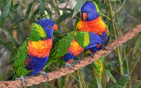 Multi Lorikeet, Lorikeet, Parrots, birds, trio, Trinity, rope