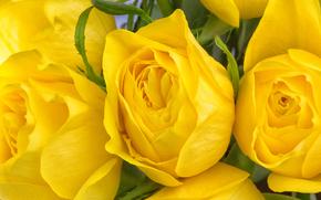 фотокартина, печать на холсте на заказ Украина ArtHolst жёлтые розы, розы, бутоны, макро
